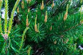 Pinus Mugo - It Is Also Known As Creeping Pine, Dwarf Mountain Pine, Mugo Pine. poster