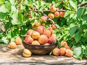 Ripe apricots in the wooden bowl on the table. Green apricot tree at the background. poster