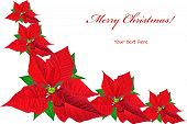 Christmas Card With Red Poinsettias