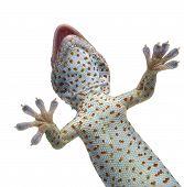 foto of gekko  - Tokay gecko  - JPG