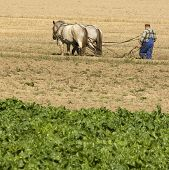stock photo of horse plowing  - view of a Horse working in the field - JPG