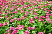 image of pubic  - Fields of Pink Gerbera flower in pubic park - JPG