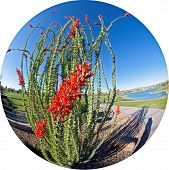 picture of ocotillo  - Blooming Ocotillo in a park with lake - JPG