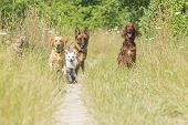 picture of obey  - A group of dogs waiting for the command of the trainer to run - JPG