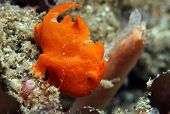 Red Painted Frogfish