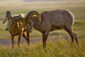 Bighorn Sheeps In Love