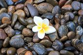 Stones And White Frangipani