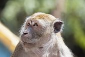 Macaque Monkey Portrait Closeup