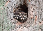 picture of omnivore  - A couple of young Raccoons poke their heads out of a hole in a tree nervous about an approaching storm - JPG