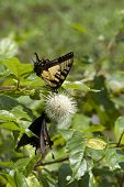 Tiger Swallowtail On Buttonbush Wildflower