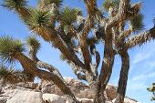Joshua Tree in California USA