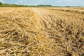 pic of roughage  - Closeup of a heap of golden yellow dry straw stalks on the field after harvesting the wheat - JPG