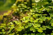 picture of irish moss  - Green clover leafs background in the forest - JPG