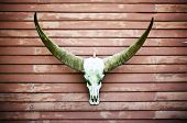 picture of carabao  - Longhorn Buffalo skull decorated at house wall - JPG
