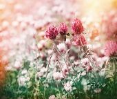 foto of red clover  - Red clover flowers in spring meadow  - JPG