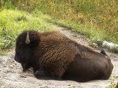 foto of aurochs  - European bison  - JPG
