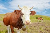 image of dairy cattle  - cows in the mountains with horns and cowbells - JPG