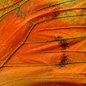 picture of albatross  - Close up of Orange Albatross Butterfly - JPG