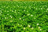 image of potato-field  - potatoes field on the sunny day in the summer