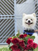 pic of pomeranian  - Pomeranian dog sit and stare with red roses - JPG