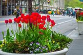 picture of planters  - A Spring planter of tulips in Midtown Manhattan - JPG