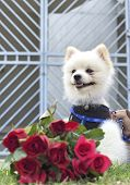 foto of pomeranian  - Pomeranian dog sit and stare with red roses - JPG