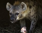 stock photo of hyenas  - close up portrait of a spotted hyena eating - JPG