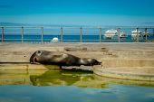 stock photo of sea lion  - sleeping sea lion in esplanade in san cristobal  with ocean on background galapagos islands ecuador - JPG