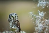 image of small-hawk  - Boreal owl with fuzz down on straw
