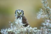 image of small-hawk  - Boreal owl with fuzz down on straw - JPG