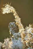 stock photo of small-hawk  - Boreal owl in beautifull backlight fuzzy straws - JPG