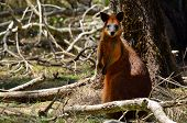 image of wallabies  - Red-necked wallaby in Coombabah Lake Conservation Park in Gold Coast Queensland Australia.