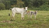stock photo of calf cow  - Side view of Cow and calfs in a Farm in Pantanal - JPG