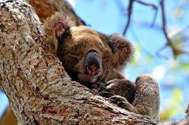image of herbivore animal  - Koala sleep on a tree at Coombabah Lake Conservation Park in Gold Coast Queensland Australia. ** Note: Visible grain at 100%, best at smaller sizes - JPG