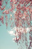 stock photo of weeping  - Toned image of weeping cherry tree branches - JPG
