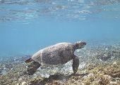 foto of sea-turtles  - Hawaiian Green Sea Turtle off the Island of Oahu - JPG