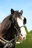 picture of shire horse  - Head of a thoroughbred Shire horse wearing tackle and blinkers