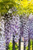 stock photo of climber plant  - Close up beautiful White and purple wisteria  - JPG