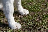 foto of paw  - Paws of Siberian Husky closeup - JPG