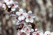 image of white bark  - white cherry flowers in spring on tree bark background - JPG