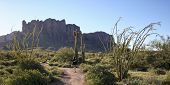 picture of ocotillo  - A Trail Leading into the Tonto National Forest and Superstition Mountain Wilderness - JPG