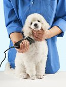 foto of poodle  - Poodle grooming at the salon for dogs - JPG