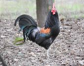 stock photo of rooster  - rooster scratching in the farmyard for food - JPG
