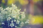 picture of windflowers  - very beautiful anemone bouquet at the garden - JPG