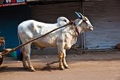 stock photo of oxen  - Ox cart transportation on early morning   in Delhi India - JPG