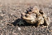foto of mating  - Two brown mating frogs  - JPG