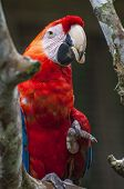 foto of green-winged macaw  - Parrot Macaw  - JPG