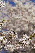 image of cherries  - Cherry blossoms in the spring with a closeup to the flowers and other cherry blossoms can be seen in the background - JPG