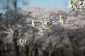foto of cherry trees  - A closeup to a small branch on a Cherry Blossom tree showing the petals - JPG