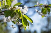 pic of cherries  - Sprig with flowers cherry - JPG